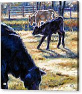Angus Calves Out With Dad Acrylic Print by Denise Horne-Kaplan
