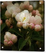 Apple Blossom Time Acrylic Print by Mary Machare