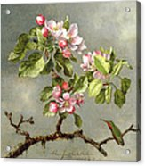 Apple Blossoms And A Hummingbird Acrylic Print by Martin Johnson Heade