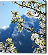 Apple Blossoms Frame The Rockies Acrylic Print by Lisa Knechtel