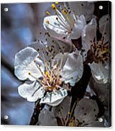 Apple Blossoms Acrylic Print by Robert Bales