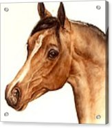 Arabian Horse Head Study Acrylic Print by Julia Sweda