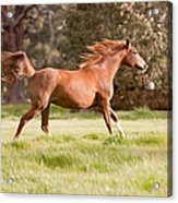Arabian Horse Running Free Acrylic Print by Michelle Wrighton