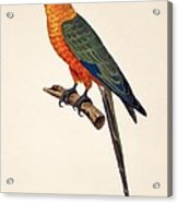 Aratinga Chrysocephalus  Acrylic Print by German School