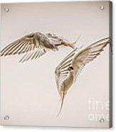 Arctic Tern - Sterna Paradisaea - Pas De Deux -hdr Acrylic Print by Ian Monk