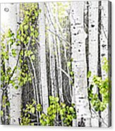 Aspen Grove Acrylic Print by Elena Elisseeva