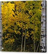 Aspen Light Acrylic Print by Dave Dilli