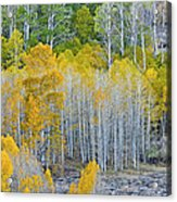 Aspen Stand Acrylic Print by L J Oakes