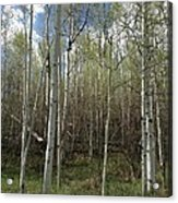 Aspens In The Springtime Acrylic Print by Shawn Hughes