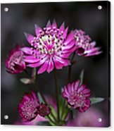 Astrantia Hadspen Blood Flower Acrylic Print by Tim Gainey