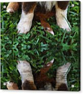 Aussie Double Trouble Acrylic Print by Kenny Francis