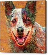 Australian Cattle Dog Acrylic Print by Jane Schnetlage