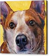 Australian Cattle Dog Red Heeler On Yellow Acrylic Print by Dottie Dracos