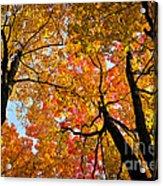 Autumn Maple Trees Acrylic Print by Elena Elisseeva