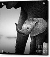 Baby Elephant Next To Cow  Acrylic Print by Johan Swanepoel