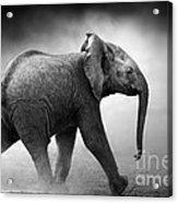 Baby Elephant Running Acrylic Print by Johan Swanepoel