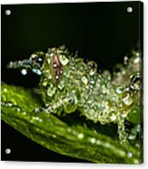 Baby Grass Hopper Acrylic Print by Tin Lung Chao