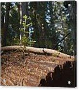 Baby Redwood Acrylic Print by Joel Moranton