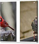 Backyard Bird Series Acrylic Print by Heather Applegate
