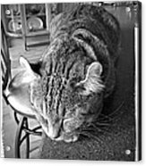 Bad Cat Acrylic Print by Susan Leggett