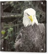 Bald Eagle Acrylic Print by Dawn Gari