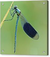 Banded Demoiselle Damselfly Acrylic Print by Science Photo Library
