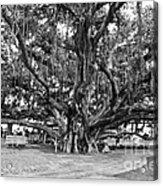Banyan Tree Acrylic Print by Scott Pellegrin