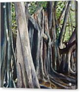 Banyan Trees Acrylic Print by Karol Wyckoff