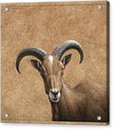 Barbary Ram Acrylic Print by James W Johnson