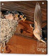Barn Swallow Nest Acrylic Print by Scott Linstead