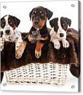 Basket Of Rottweiler Mixed Breed Puppies Acrylic Print by Susan  Schmitz