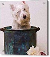 Bath Time Westie Acrylic Print by Edward Fielding