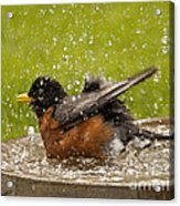Bathing Robin Acrylic Print by Inge Riis McDonald
