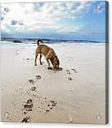 Beach Dog Acrylic Print by Eldad Carin