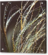 Beads Of Water On Sea Grass Acrylic Print by Artist and Photographer Laura Wrede