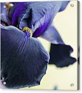 Bearded Iris Interpol Acrylic Print by Tim Gainey
