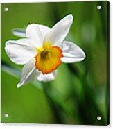 Beautiful Daffodil Acrylic Print by Jenny Rainbow