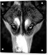 Beautiful Husky Acrylic Print by Karen Lewis