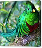 Beautiful Quetzal 4 Acrylic Print by Heiko Koehrer-Wagner