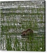 Beaver On Rest Lake Acrylic Print by Lizbeth Bostrom