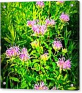 Bee Balm Of The Butterfly Gardens Of Wisconsin Acrylic Print by Carol Toepke