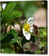 Bee Fly On White Flowers Acrylic Print by Christina Rollo