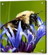 Bee On A Blue Flower Acrylic Print by Matt Dobson