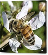 Bee Acrylic Print by Steven  Taylor