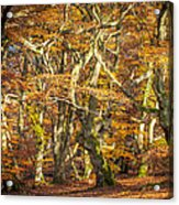 Beech Tree Group In Autumn Light Acrylic Print by Martin Liebermann
