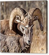 Big Horn Little Horn Acrylic Print by Kevin  Dietrich