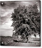 Big Old Tree Acrylic Print by Olivier Le Queinec