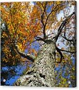 Big Orange Maple Tree Acrylic Print by Christina Rollo