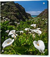 Big Sur Calla Lilies Acrylic Print by About Light  Images