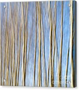 Birch Trees Acrylic Print by Stelios Kleanthous